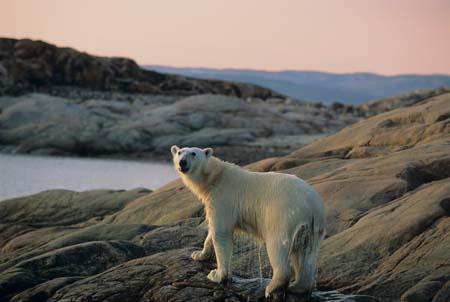 Polar Bear (Ursus maritimus), Ukkusiksalik National Park, Wager Bay, Nunavut, Canada
